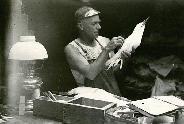 Rollo Beck preparing a bird specimen from the Brewster-Sanford Expedition . Photo by: American Museum of Natural History.
