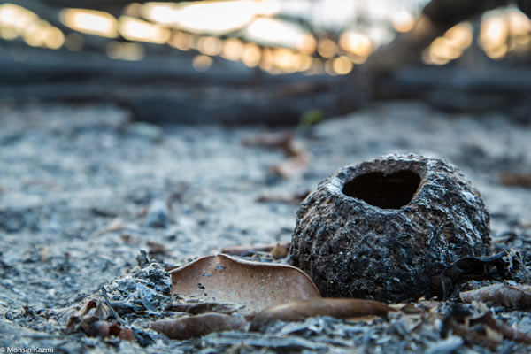 A brazil nut amidst the ashes of what was once ancient forest beside the Floating Forest. Photo by: Mohsin Kazmi.