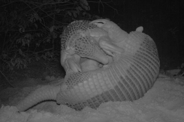 Alex, the young armadillo, wrestling with his mother. Photo by: the Giant Armadillo Project.