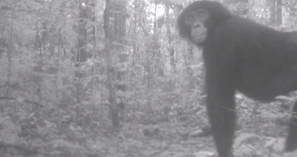 Bonobo from still of camera trap video. Courtesy of: Terese Hart.