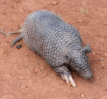 A southern naked-tailed armadillo (Cabassous unicinctus) in Brazil. Photo by: Leonardo Avelino Duarte.