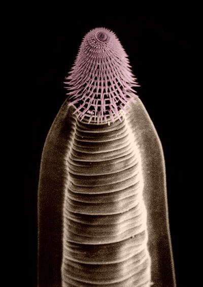 A parasitic nematode in the species Carnoya fimbriata that lives in the gut of tropical millipedes. Photo by: David J. Hunt (false colored SEM)