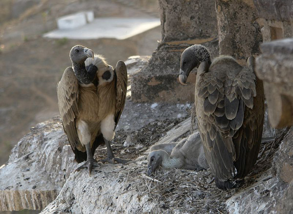 Critically Endangered Indian vultures (Gyps indicus) hanging out in their nest at Orchha, Madhya Pradesh. Photo by: Yann.