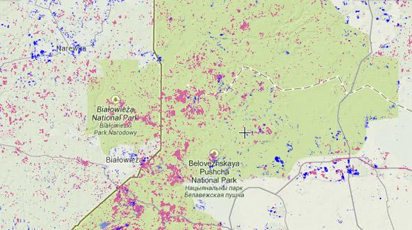 Pérdida de bosque en el bosque de Bialowieza de 2001-2013. Pérdida de bosque en rosa; recuperación de bosque en azul. Muestra de la parte polaca (izquierda) y la parte de Bielorusia (derecha) del bosque. Cortesía de Global Forest Watch.