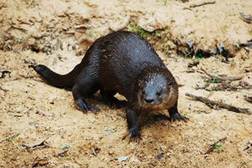 Neotropical otter in river margins of Brazilian Pantanal. Photo by: Caroline Leuchtenberger/Instituto Federal Farroupilha.