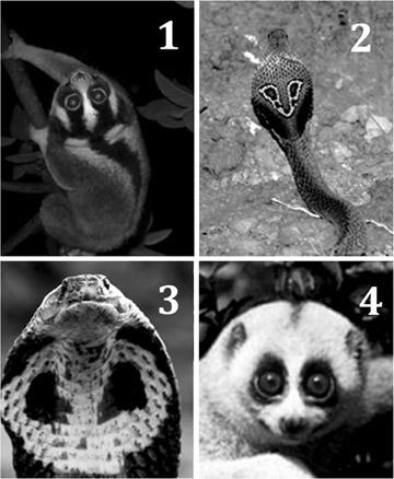 1. Javan slow loris 2. Spectacled cobra (rear view) 3. Spectacled cobra (front view) 4. Bengal slow loris. Photo by: Nekaris et al.