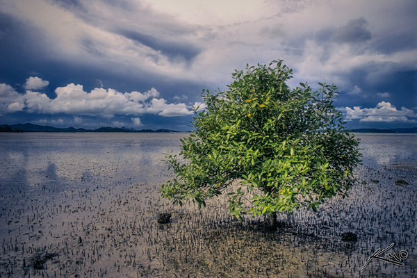 Mangrove tree in Phuket Thailand. Considered one of the most important marine ecosystems, the world has lost more than half of its historic mangrove forests. Photo by: Kim Seng.