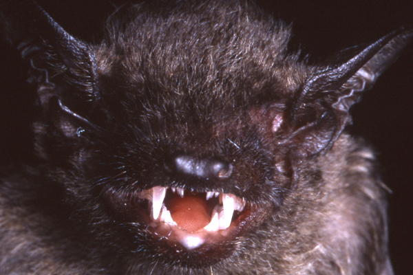 Another view of a live long-toothed pipistrelle. Photo by: Judith L. Eger.