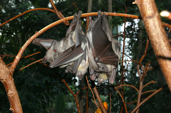 Straw-colored fruit bat (Eidolon helvum) at the Zoological Garden Berlin, Germany. This species, along with other fruit bats, is present in the Ebola impacted area and may have been a carrier. Photo by: Fritz Geller-Grimm.