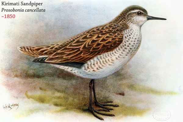 The Christmas sandpiper (Prosobonia cancellata) was only found on the island of Kiribati. It was killed off by invasive mammals. Image by: George Edward Lodge.