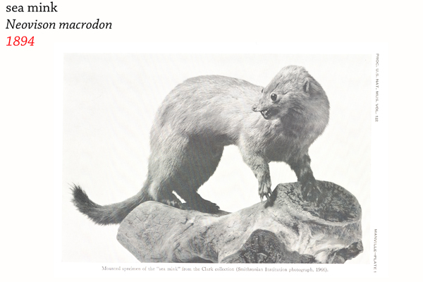 The sea mink (Neovison macrodon) was hunted to extinction for its fur. It lived along the Atlantic coast of North America. Photo by: R.H. Manville 1966. Proceedings of the US National Museum. Vol. 122.