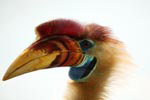 Knobbed hornbill