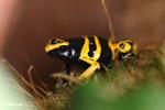 Yellow-and-black dart frog