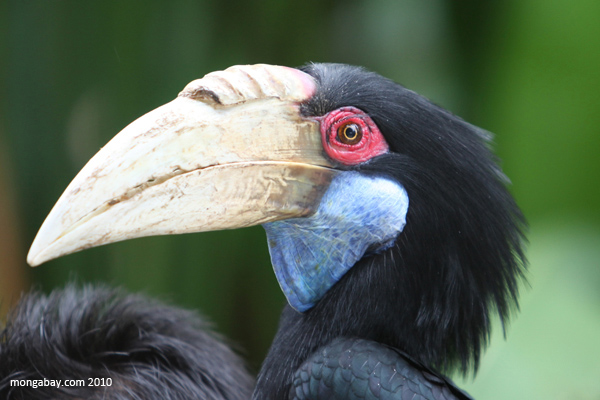 Wreathed Hornbill Female Wreathed...