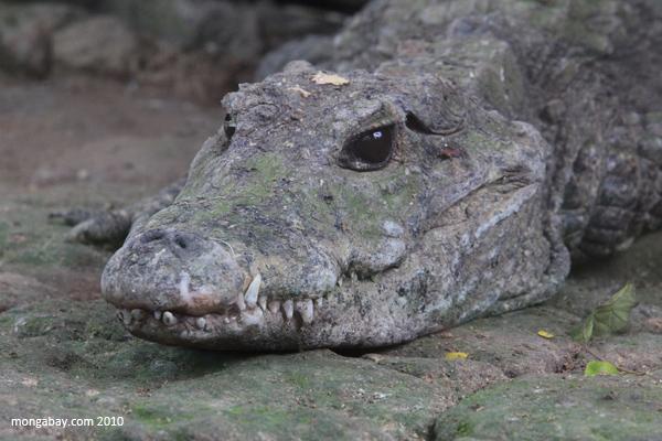 Dwarf crocodile (Osteolaemus tetraspis). Photo by Rhett A. Butler / mongabay.com