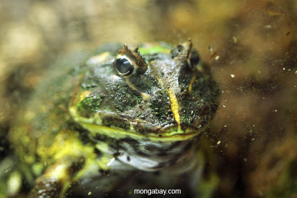 Chacoan horned frog (Ceratophrys cranwelli)