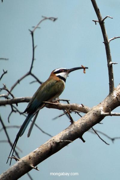 White-throated Bee-eater (Merops albicollis)