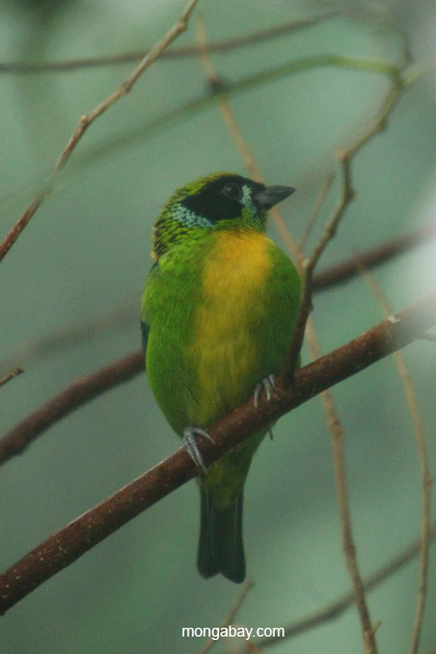 Green-and-gold Tanager (Tangara schrankii)