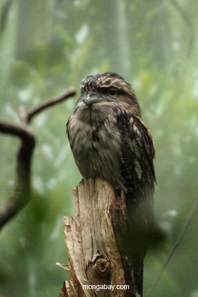 Tawny frogmouth (Podargus strigoides)