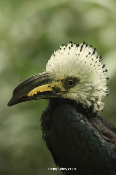 Long-tailed Hornbill (Tropicranus albocristatus)