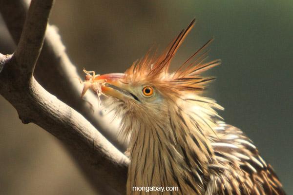 Guira Cuckoo (Guira guira)