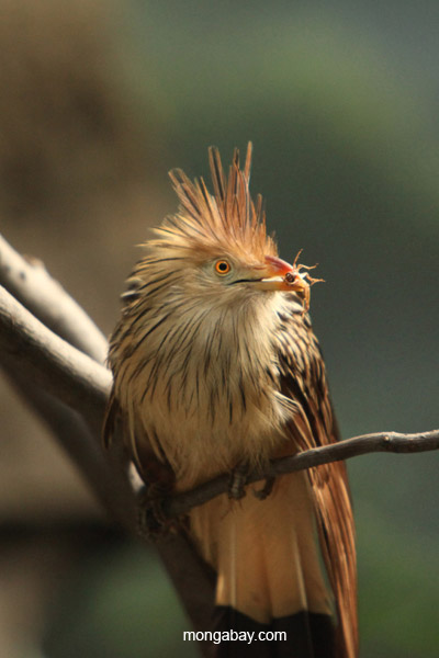 Guira cuckoo eating a cricket