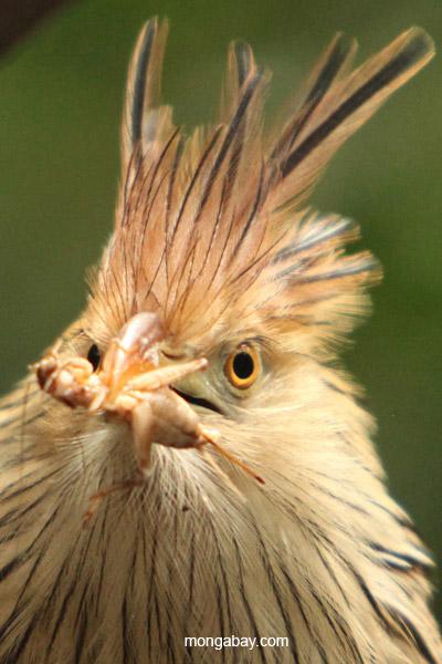 Guira cuckoo feeding