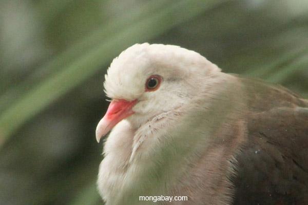 Pink Pigeon (Nesoenas mayeri)