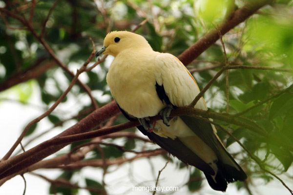 Pied Imperial-pigeon (Ducula bicolor)