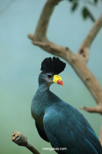 Great Blue Turaco (Corythaeola cristata)