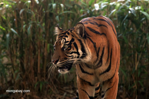 Sumatran tiger in captivity. Only 400 Sumatran tigers are believed to survive in the wild. Photo by: Rhett A. Butler.