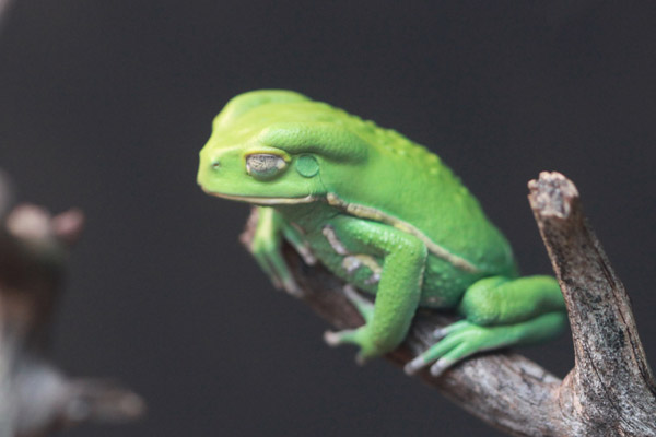 Green waxy monkey frog