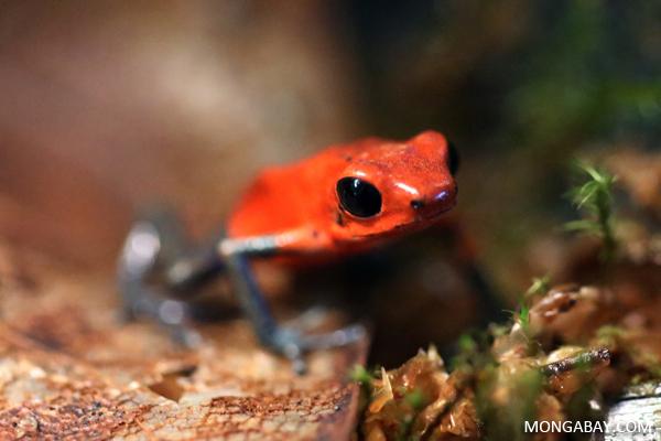 Oophaga pumilio dart frog