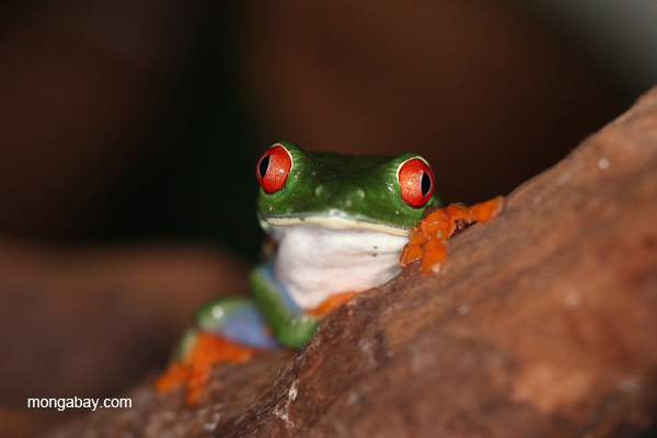 Red-eye treefrog.