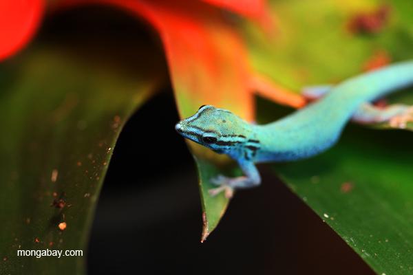 neon blue day gecko  lygodactylus williamsi
