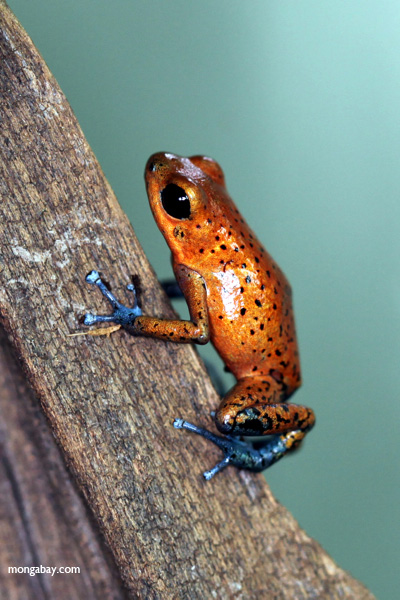 Blue-footed poison frog (Oophaga pumilio)