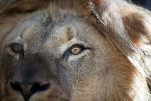 Captive male lion. Photo by: Rhett A. Butler.