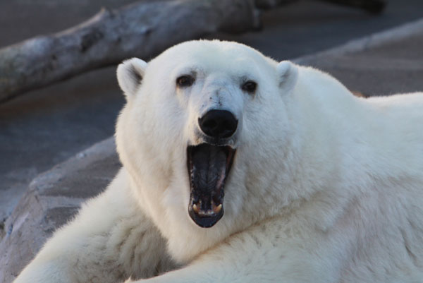 A polar bear in captivity.  Photo by Rhett A. Butler / mongabay.com