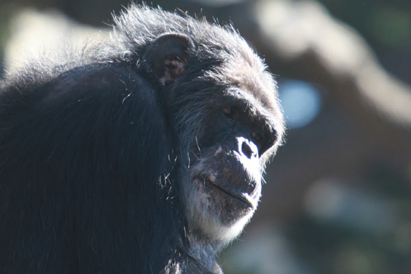 Captive chimp. Photo by: Rhett A. Butler.