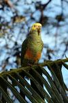Parrot [bonito_0013]