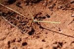 Leaf-cutter ants [bonito_0077]