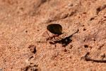 Leaf-cutter ants [bonito_0081]