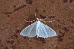 Moth [bonito_0093]