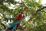Scarlet macaw [bonito_0148]