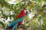 Scarlet macaw [bonito_0149]