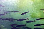 Brycon microlepis in the Rio Formoso [bonito_0150]