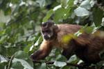 Black-striped capuchin (Sapajus libidinosus) [bonito_0382]