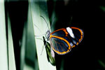 Transparent butterfly [bonito_0452]