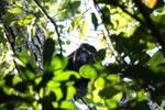 Black howler monkey (Alouatta caraya)