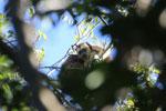 Black howler monkey (Alouatta caraya) [bonito_0528]